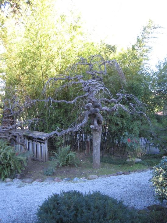 deciduous bonsai