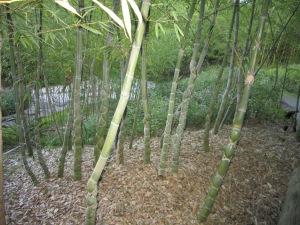 Rare Turtle Shell Bamboo