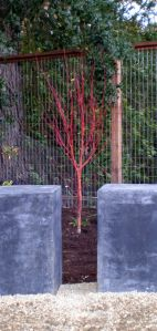 The bark of the Coral Bark Maple really stand out in a winter garden, this one is newly planted in a great location!