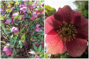 The beautiful hellebore flowers - charming in any garden!