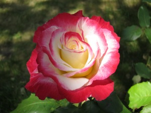 Shop early for spectacular bare root rose varieties!